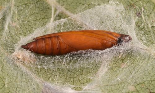 Diaphania melonworm Diaphania hyalinata