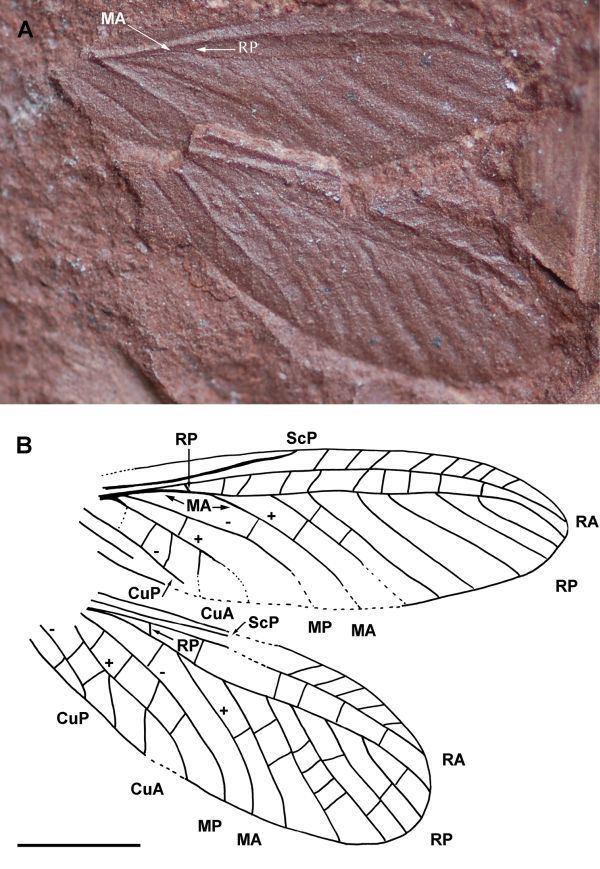 Diaphanopterodea palaeoscommetazoaarthropodapalaeodictyopteroid