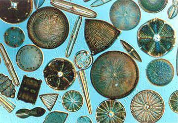 Diatom diatom