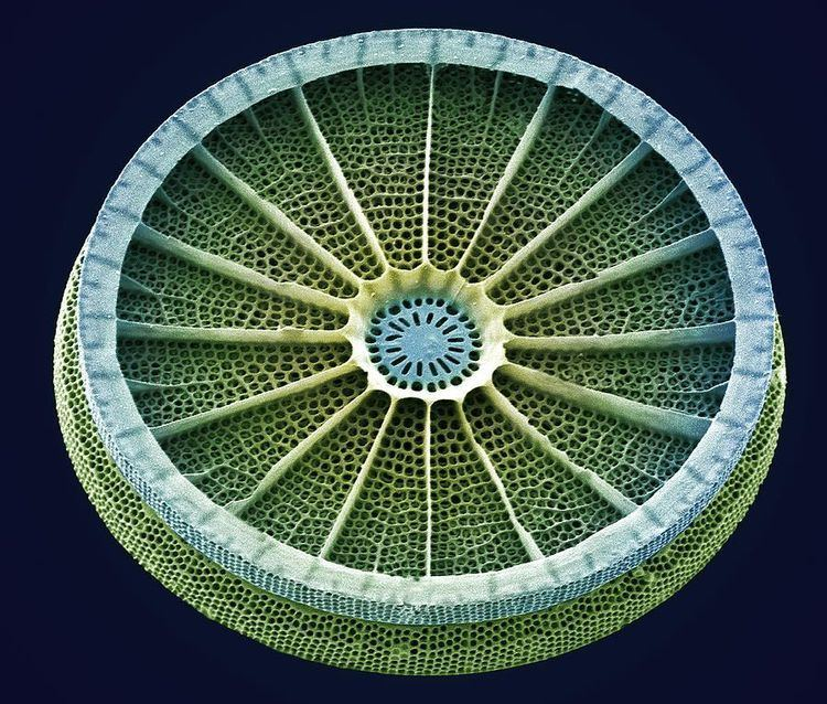 Diatom 1000 images about Diatoms on Pinterest Pictures of Mandalas and