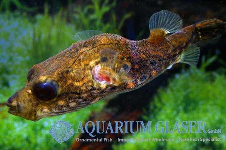 Dichotomyctere ocellatus 27 Puffers Aquarium Glaser GmbH
