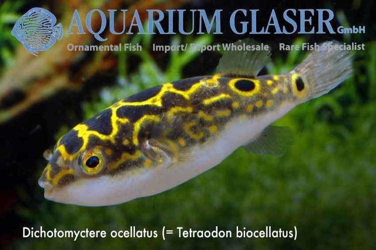 Dichotomyctere ocellatus Pao palembangensis and Dichotomyctere ocellatus Aquarium Glaser GmbH