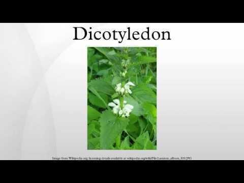 Dicotyledon Dicotyledon YouTube