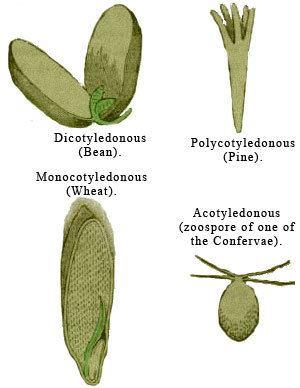 Dicotyledon Encyclopedian Dictionary dicotyledon dicotyledonous dicotyledonae