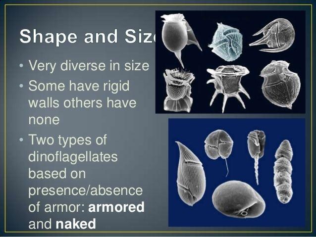 Dinophyceae httpsimageslidesharecdncomlec5dinophyceae13