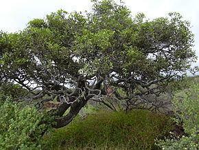 Diospyros sandwicensis Diospyros sandwicensis Wikipdia