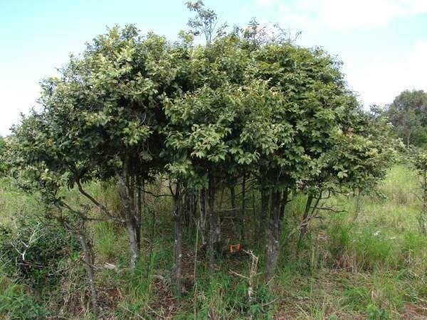 Diospyros sandwicensis Diospyros sandwicensis A DC Fosberg lama