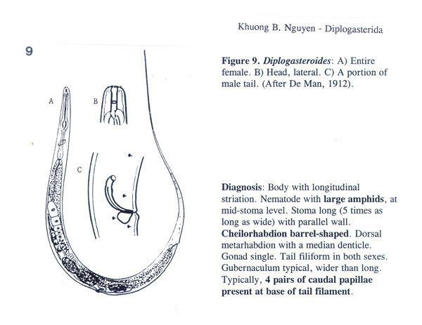 Diplogasterida entnemifasufledunguyenmorphgasterfigure9jpg
