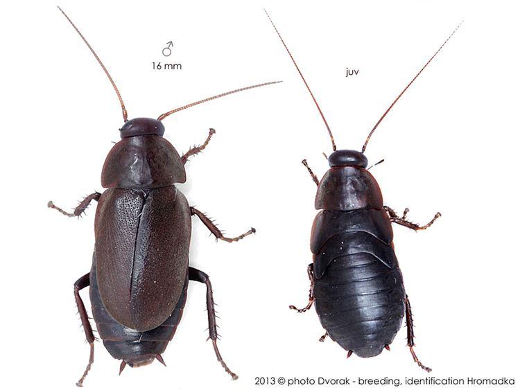 Diploptera Beetle Mimic Cockroach Diploptera