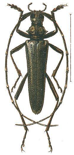Disteniidae httpsuploadwikimediaorgwikipediacommonsthu