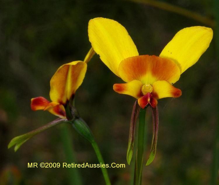 Diuris Tasmanian Orchids Diuris orientis Donkey Orchid Wallflower Orchid