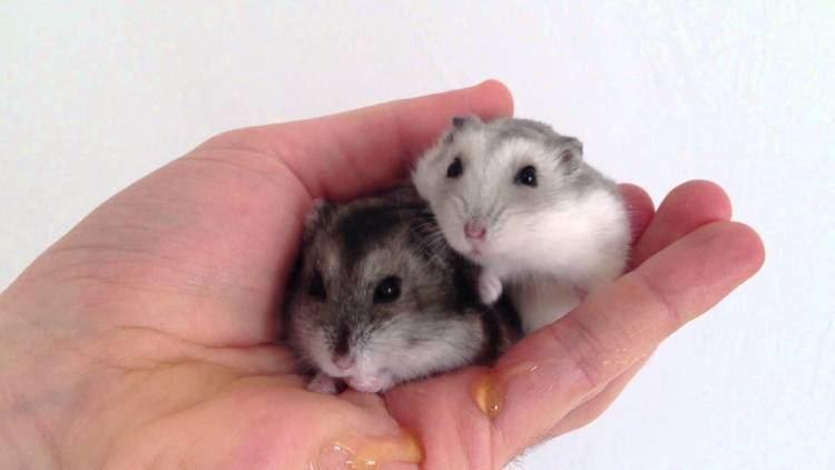Djungarian hamster - Alchetron, The Free Social Encyclopedia