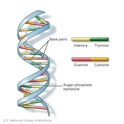 DNA httpsghrnlmnihgovprimerillustrationsdnast
