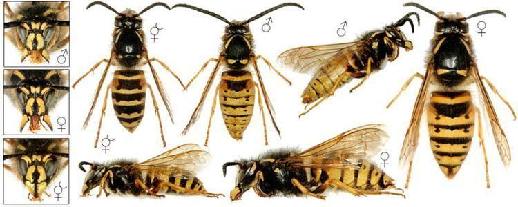Dolichovespula Dolichovespula norwegica Fabricius1781 BWARS