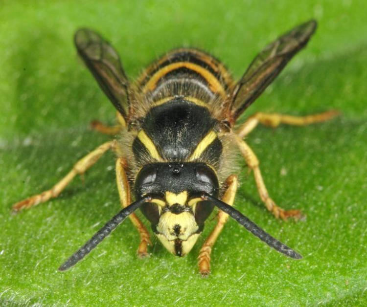 Dolichovespula saxonica Dolichovespula saxonica Fabricius1793 BWARS