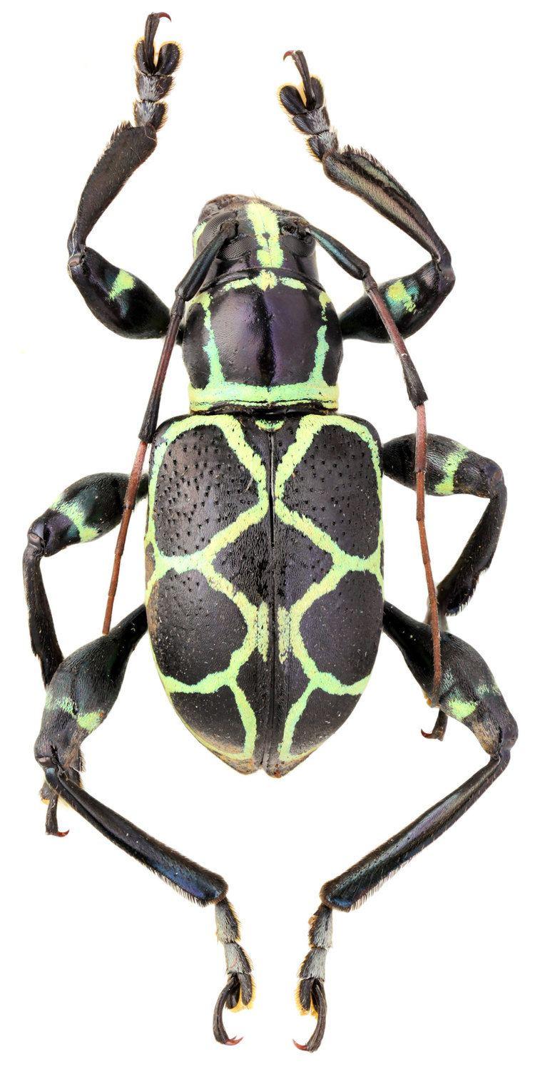 Doliops Doliops pachyrrhynchoides Heller 1916 Cerambycidae