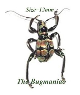 Doliops Cerambycidae Doliops taylori The Bugmaniac INSECTS FOR SALE