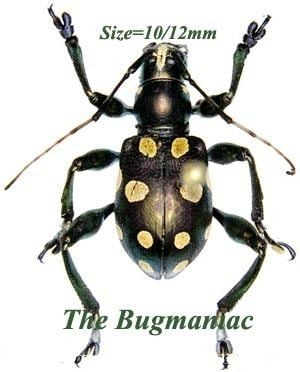 Doliops Cerambycidae Doliops curculionides The Bugmaniac INSECTS FOR
