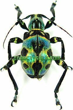 Doliops InsectSalecom Doliops magnifica Mimicry Doliopssp1Luzon