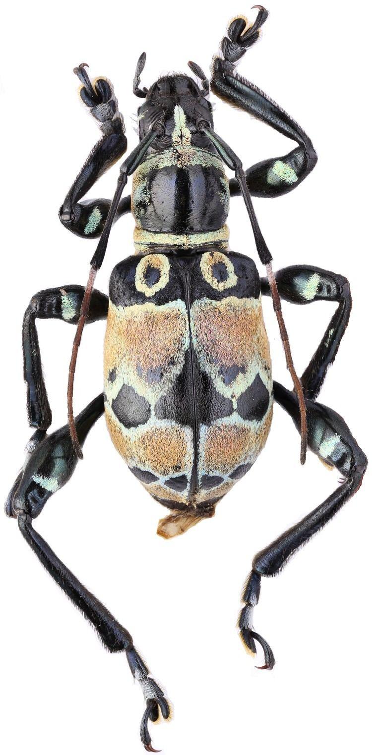 Doliops Genus Doliops Waterhouse 1841 Cerambycidae