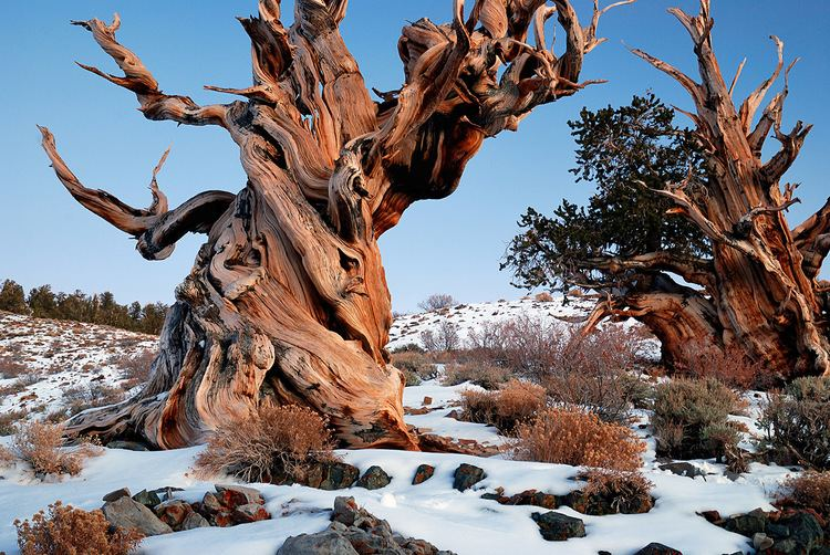 Donald Rusk Currey Ancient Bristlecone Pines the Felling of Prometheus by Donald Currey