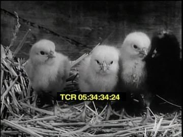 Down on the Farm (1941 film) Speaking of Animals Down On The Farm 1941 HD Stock Video 597
