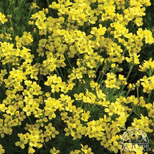 Draba Plant Profile for Draba bruniifolia ssp bruniifolia Mossy Draba
