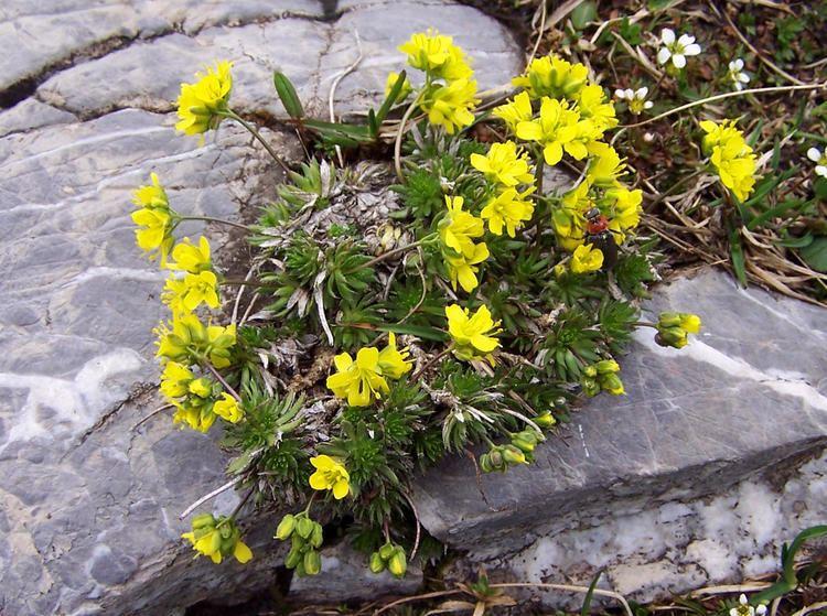 Draba aizoides FileDraba aizoides a1jpg Wikimedia Commons