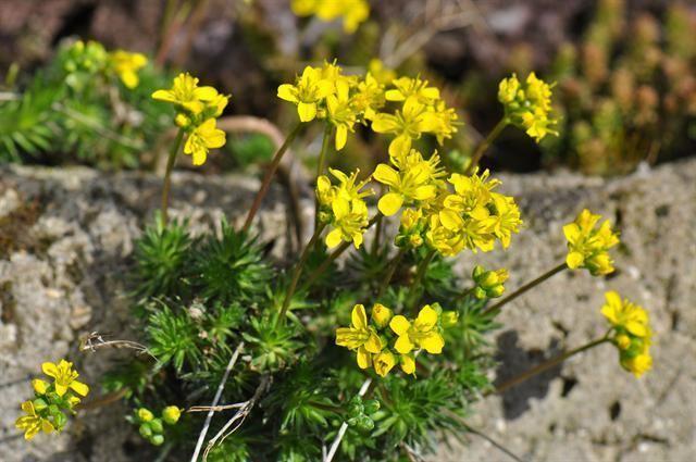 Draba aizoides Yellow Whitlowgrass Draba aizoides Biopix photoimage 78140