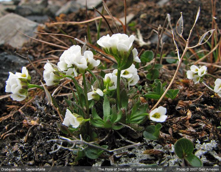 Draba Draba lactea Lapland whitlowgrass Draba fladnizensis var
