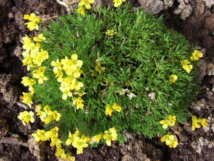 Draba FileDraba brunifolia a1jpg Wikimedia Commons