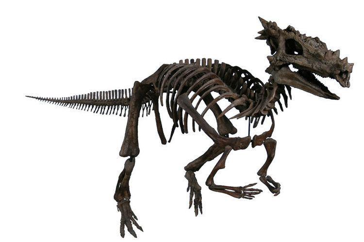 Dracorex Dracorex Wikipedia