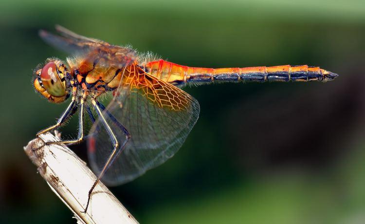 Dragonfly httpsuploadwikimediaorgwikipediacommons00