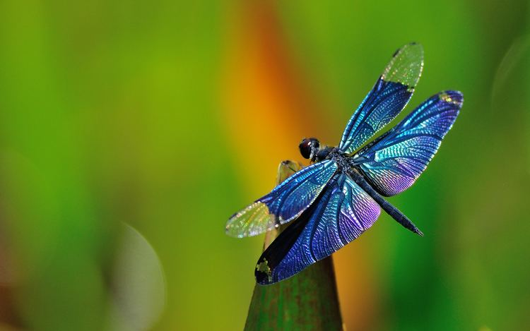 Dragonfly Myths amp Legends About Dragonflies amp Their Symbolism in Feng Shui