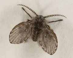 Drain fly Drain fly Wikipedia