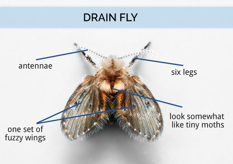 Drain fly What Are Drain Flies Drain Fly Identification