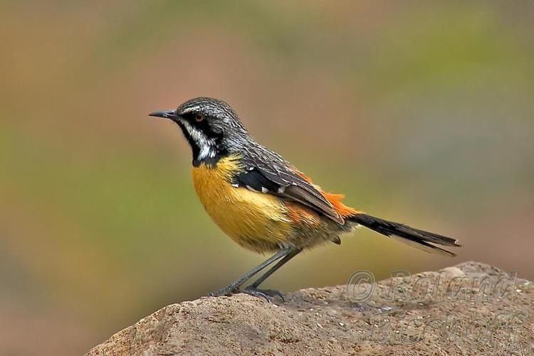 Drakensberg rockjumper - Alchetron, The Free Social Encyclopedia