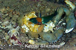 Dromia dormia Sleepy Sponge Crab Dromia dormia