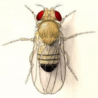 Drosophila Why fly droso4schools