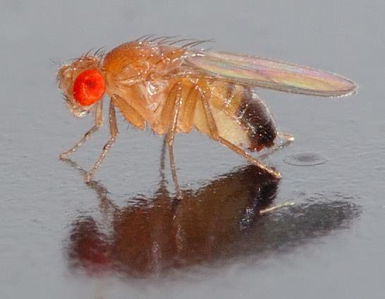 Drosophila httpsuploadwikimediaorgwikipediacommons44
