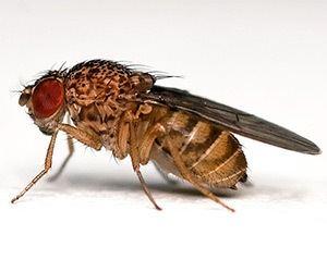 Drosophila Drosophila melanogaster The Fruit Fly BenchFly