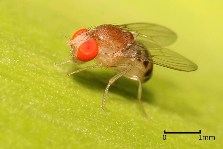 Drosophila Drosophila Simple English Wikipedia the free encyclopedia