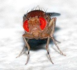 Drosophila Drosophila melanogaster Wikipedia