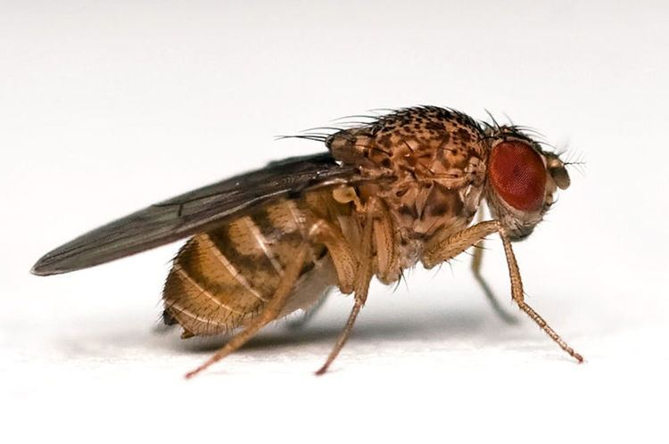 Drosophila drosophila Popular Science