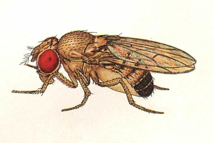 Drosophila melanogaster Drosophilamelanogasterjpg
