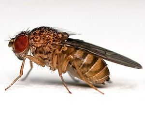 Drosophila melanogaster Drosophila melanogaster The Fruit Fly BenchFly