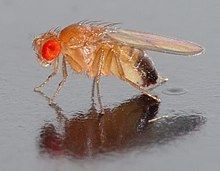 Drosophila melanogaster httpsuploadwikimediaorgwikipediacommonsthu