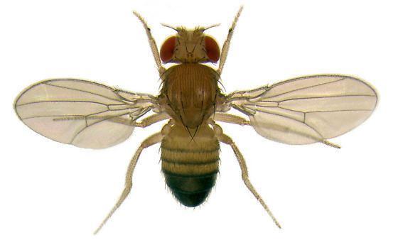 Drosophila melanogaster Drosophila melanogaster Fruit fly