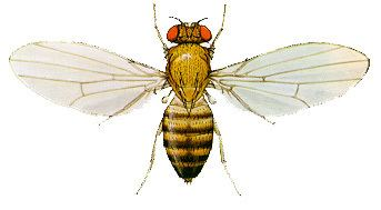 Drosophila melanogaster Drosophila Melanogaster