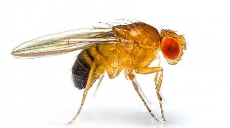 Drosophila melanogaster Fruit flies in the laboratory Stories yourgenomeorg